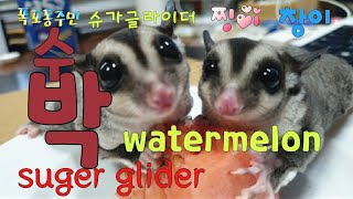 [kobo jeong] 슈가글라이더와 수박입니다!! T…