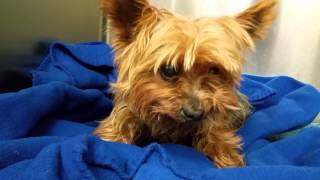 Yorkshire Terrier : Stray 12 Year Old Male Yorkshire Terrier