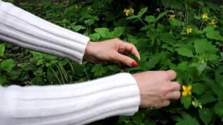 Népi gyógyszer a gyógynövények dohányzásához - Film arról, hogyan lehet leszokni a dohányzásról