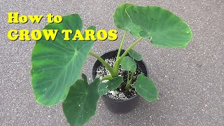 How to Grow Eddoes