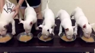 クレイジー犬ブルテリア、bullterrierハッピー犬、エネルギッシュな、ス...