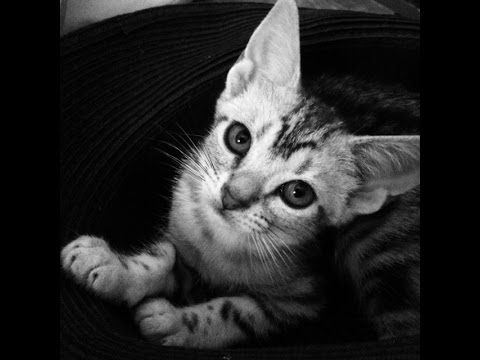 American Shorthair cat. So cute