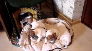 19.07.2014 Джек Рассел терьер  Jack Russell Terrier