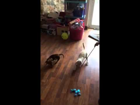 Keetso Cat Vs Mini Dachshund Daxie dog