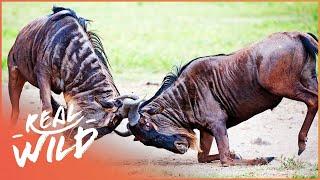 Wildebeest, Cheetah & Gazelle Surviving in the Wild | Fawn Identity | Real Wild  Shorts