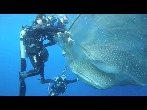 Whale Sharks Rescued From Net