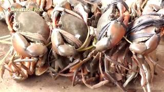 Indian LIve Fish , Crabs  Market - Andhra Markets - Malkipuram  - Egdt
