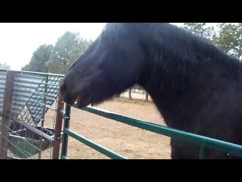 Draft Horse talking for food!