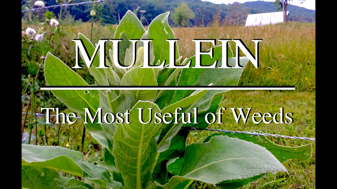 Image result for Mullein
