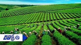 Ngọt, thơm hương vị trà B'Lao xứ Bảo Lộc | VTC