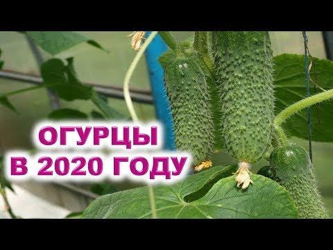 Огурцы в 2020