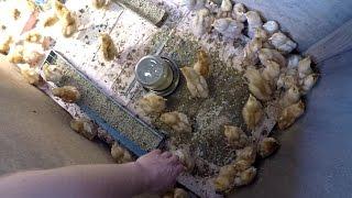 Суточные цыплята несушки 100шт ломан браун содержание в домашних условиях - zolotyeruki(Выращивание цыплят ломан браун в домашних условиях. Уход за цыплятами в первые дни жизни. Цыплята в первые..., 2016-05-26T09:05:42.000Z)