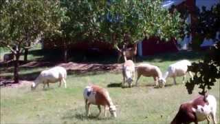Sheep Update~Raising Katahdin Sheep