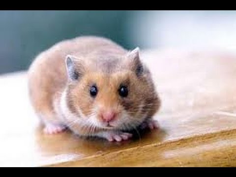 Funny Hamster Playing Dead Youtube