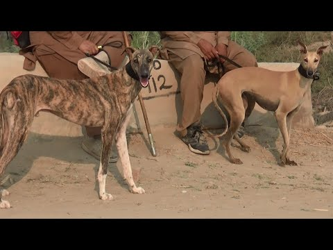 racing dog breeds - sighthound - hunting dogs in Pakistan - greyhound