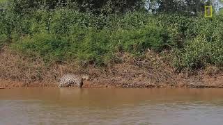 Jaguar Attacks Crocodile Cousin EXCLUSIVE VIDEO   National Geographic