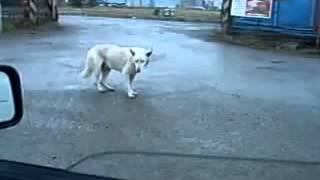 Веселый танец собаки под музыку - Собака танцует джагу