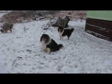 Collies - fun in the snow