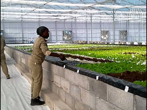 First Harvest from lettuce ponds in Botswana, Africa