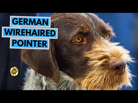 German Wirehaired Pointer – TOP 10 Interesting Facts