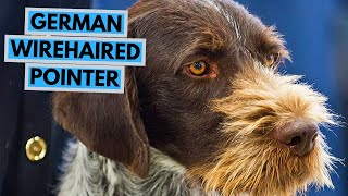 German Wirehaired Pointer  TOP 10 Interesting Facts