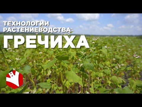 Посев и выращивание гречихи | Технологии растениеводства