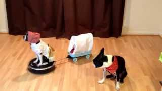 Blooper! Dog Rides Roomba Covered Wagon