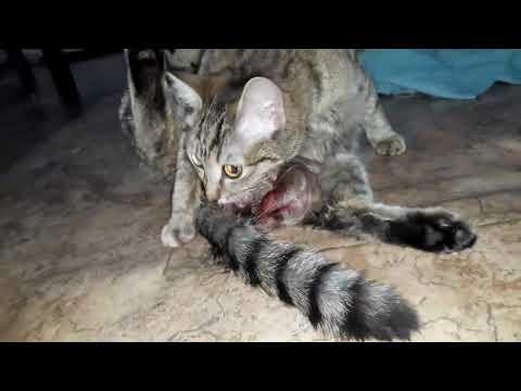 Кошка Барби рожает первый раз