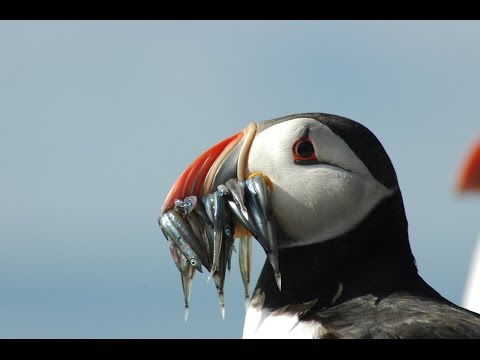 Puffins & Seabirds Of The Beautiful Farne Islands UK