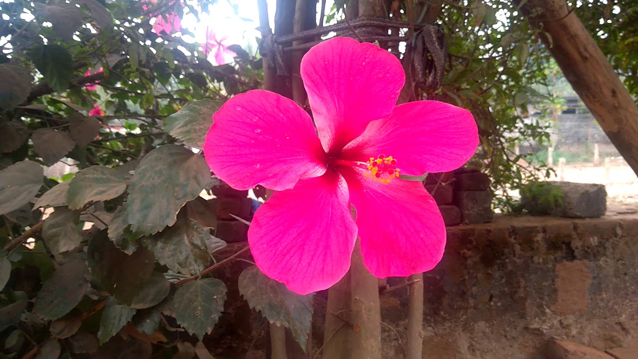 Mandara Plant Beautiful Flowers Hibiscus Flowers Plant In English