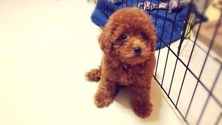 Truffles The Toy Poodle Learning New Tricks! Dancing And Standing!