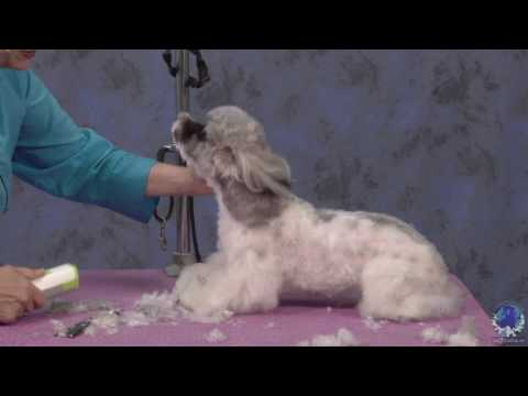 Dog Grooming - Creating a Modern Trim Style on a Shih Tzu/Poodle Mix