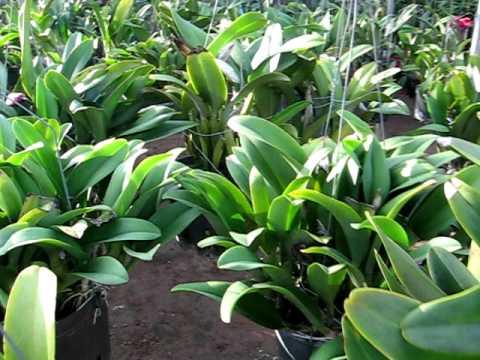 vườn lan Cattleya bạn Tèo (Big Cattleya Orchids)VietNam