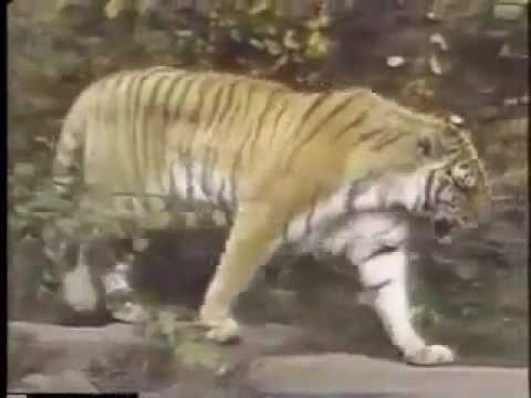 Tiger Moves Dynamic Tension Program