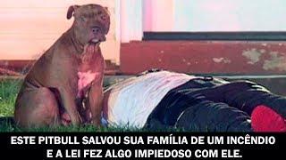 Este Pitbull salvou sua família de um incêndio e a lei fez algo impiedoso com ele