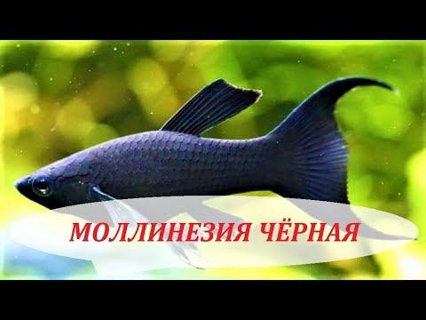 Моллинезия Чёрная. Содержание, размножение в аквариуме, совместимость и уход