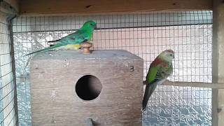 Best Breeding pair Red rumped parakeets