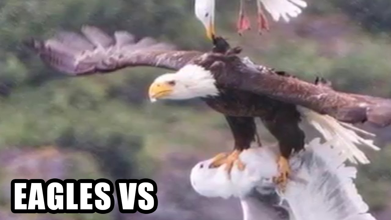 Eagle Attacks Real or Fake Bald Eagle Golden Eagle Falcon
