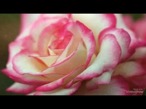 ОБИ. Розы садовые. Шикарный завоз сортовых Пионов! Пион с ароматом Розы!