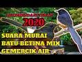 Suara Murai Batu Betina Birahi Gacor Gemercik Air  Mp3 - Mp4 Download