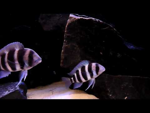 quad cyphotilapia frontosa in my 100 gal tank, 375 ltrs