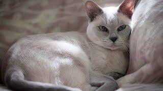 Тонкинская Кошка, Тонкинез, Описание, Породы кошек