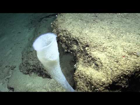 Beautiful Sea Sponges of the Windward Passage | Nautilus Live