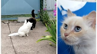 Turkish Angora cat meets black Persian cat... We adopted a Siamese Red Point cat