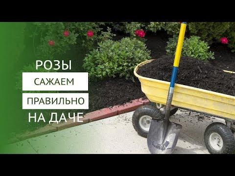 Как посадить розы в горшок и в открытый грунт