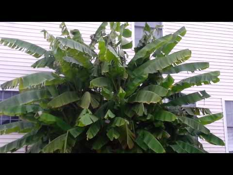 Large banana plants in Wernersville Pennsylvania