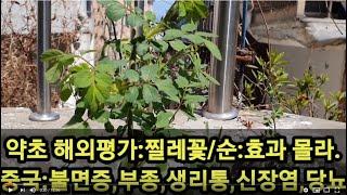 약초 해외평가:찔레꽃/순:효과 몰라. 중국:불면증,부종…