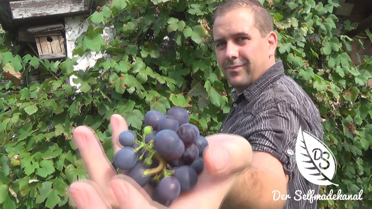 Traubensaft selber machen | Weintrauben Ernte 2016 Artikelbild