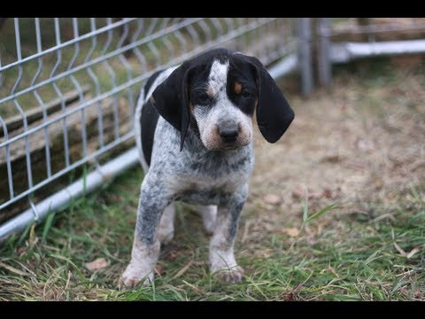 Fun and silly Bluetick Coonhound puppies at 7 weeks.