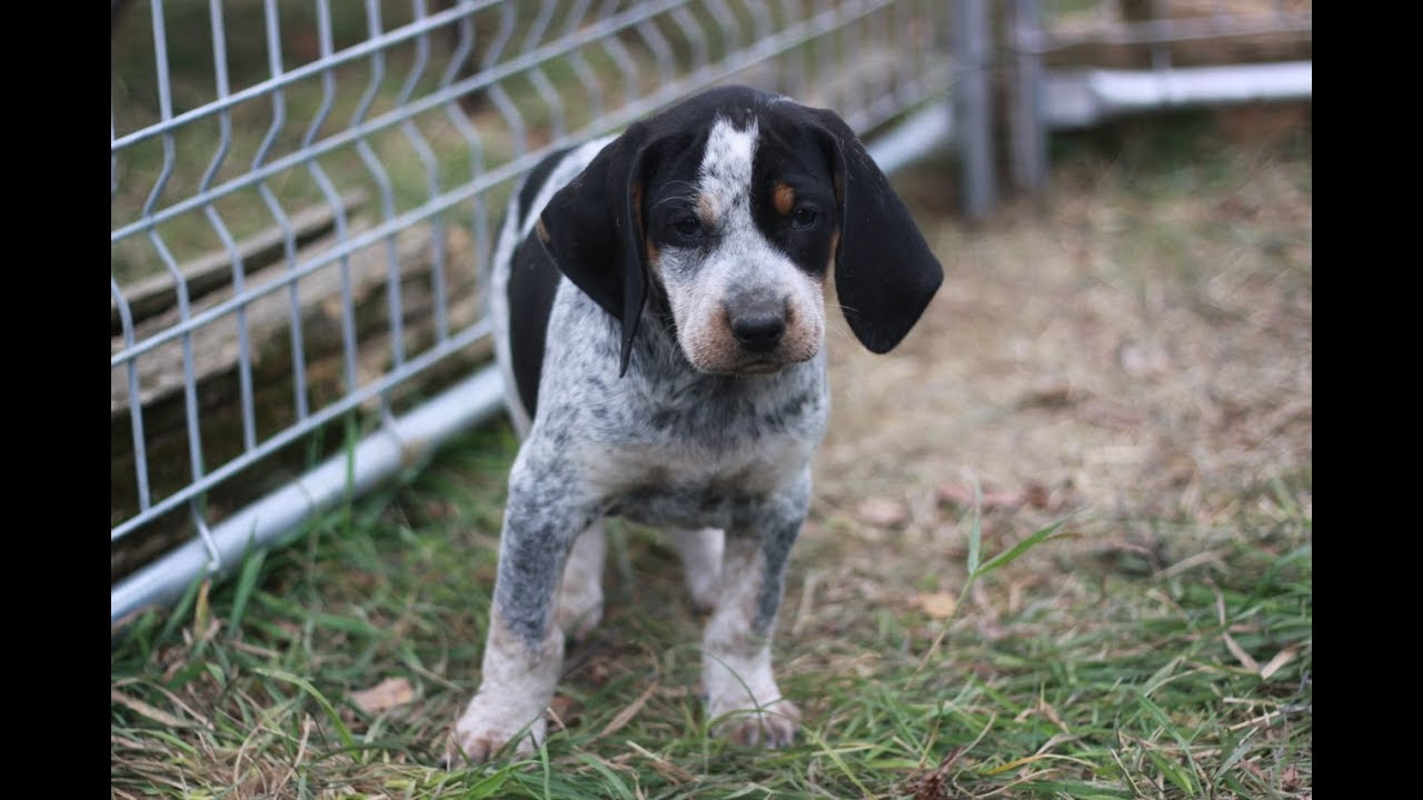 Fun and silly Bluetick Coonhound puppies at 7 weeks. - YouTube